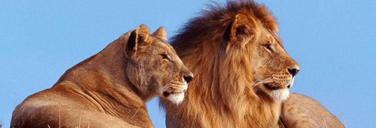 Lion and Lioness wild animals